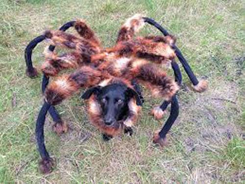 Spider-dog1